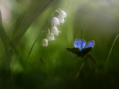 Convalaria majalis + mariposa