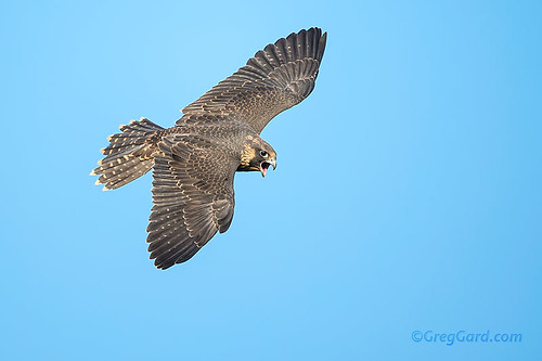 Juvenile Peregrine Falcon flying by | Top view on a ...