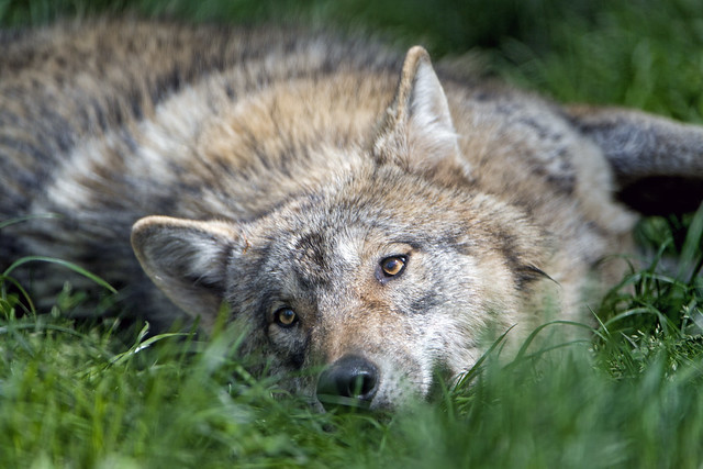 Bored wolf in the grass
