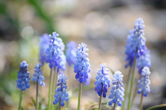 spring flower 4