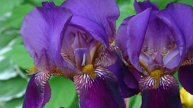 The Secret Life of Irises