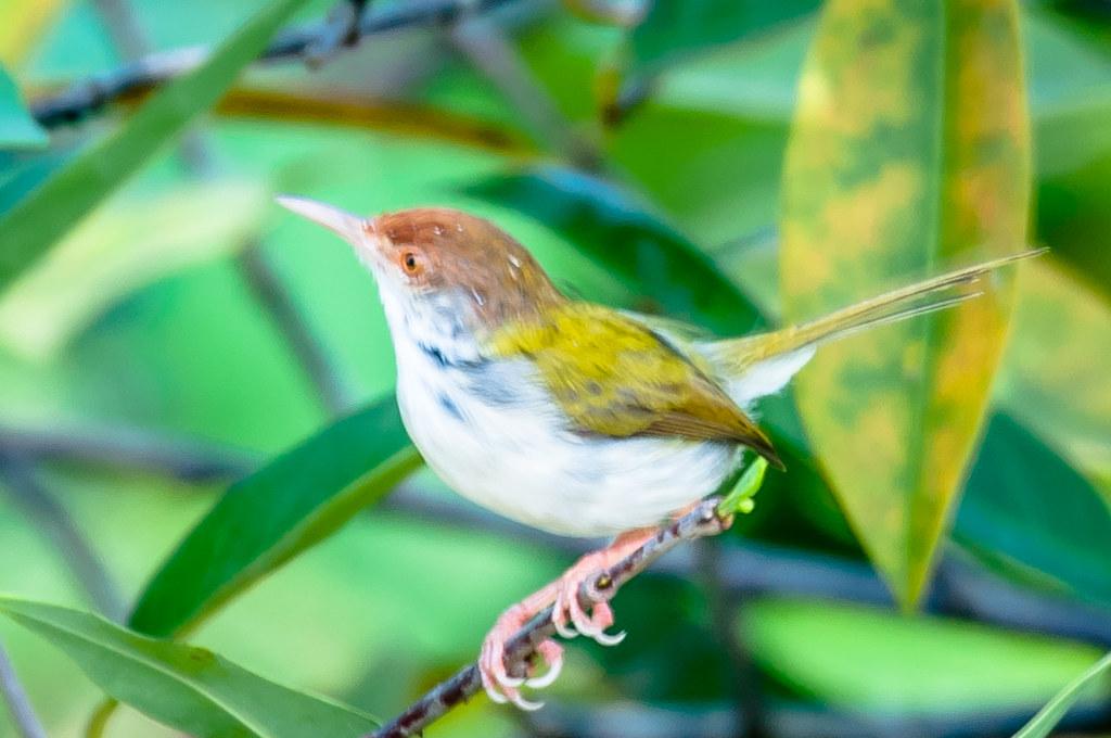 Common Tailorbird Orthotomus Satorius Bandu Biyanwila Flickr