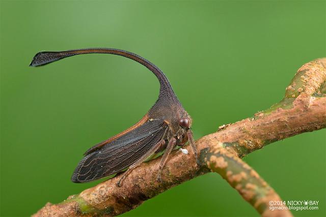 Treehopper (Hybanda sp.) - DSC_9626
