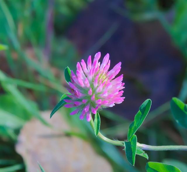 belgium wilde flora flore indig ne einheimische pflanzen flickr. Black Bedroom Furniture Sets. Home Design Ideas
