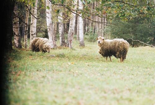 Sheep, birch trees, soft focus.