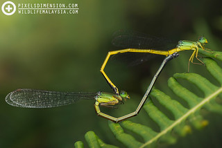 "A mating pair of ""Deceptive"" Coraltails- Ceriagrion fallax pendleburyi ♂♀ 