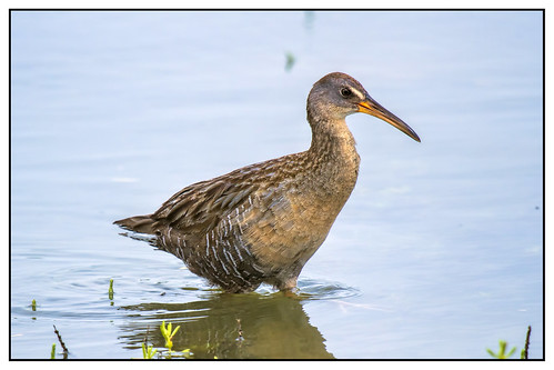Clapper Rail | by biggaron
