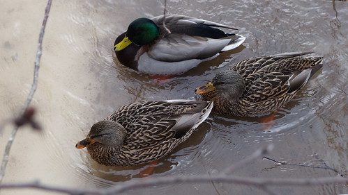 Ducks | by Stephen Downes