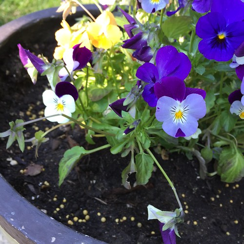 Pansies have happy faces