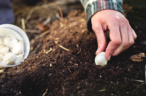 Planting Garlic | by Simply Vintagegirl