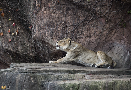 lions at lincoln park zoo 11 | by Eva Blue