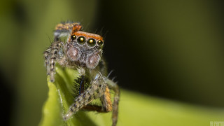 Saitis barbipes, jumping spider | by N. Blondeau