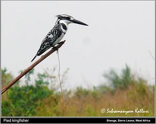 Pied kingfisher Sierra Leone