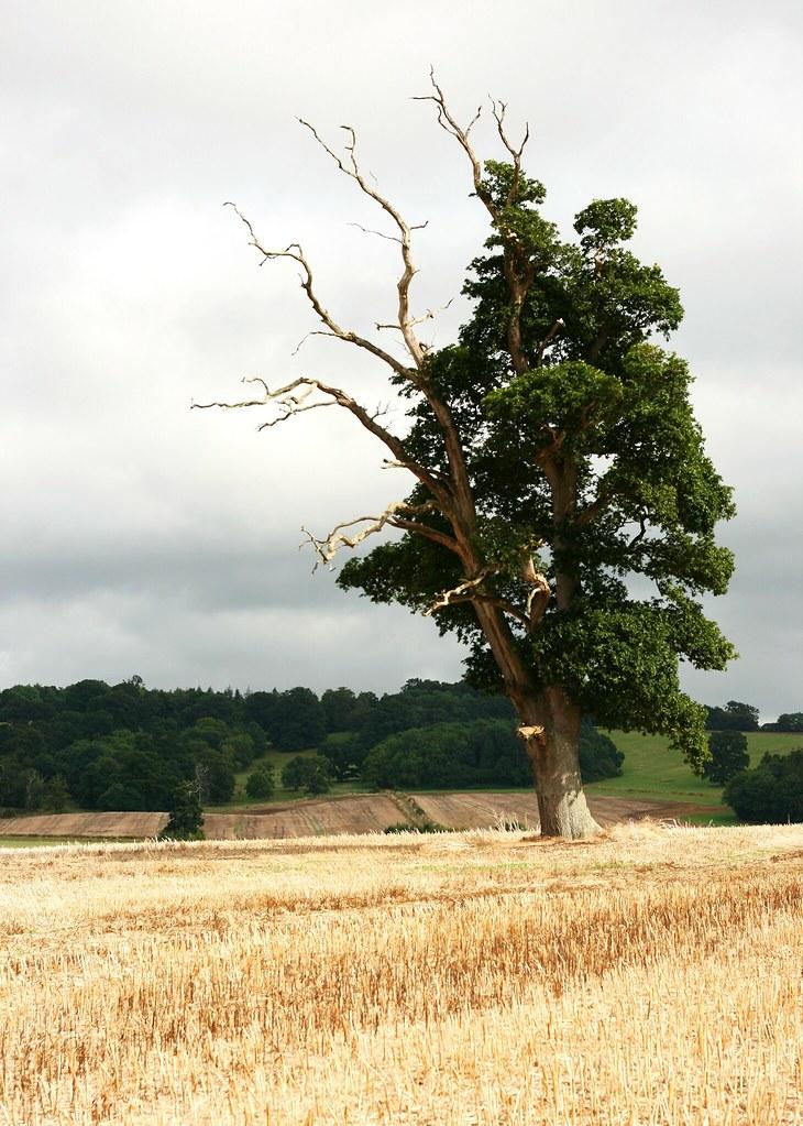 Half Alive Half Dead Tree In Sherborne Castle Grounds Jan Roles