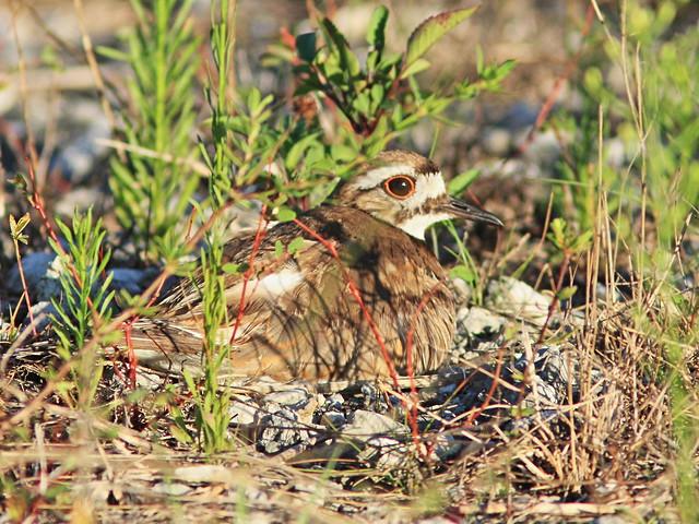 Killdeer incubating 4-20160529
