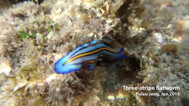 Three-striped flatworm (Pseudoceros tristriatus)