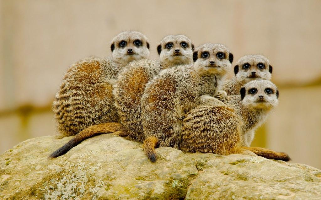 Meerkat (Suricata suricatta)_17