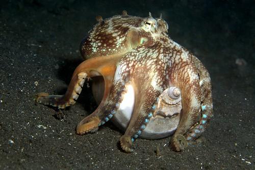 Coconut Octopus 1d (Amphioctopus marginatus)