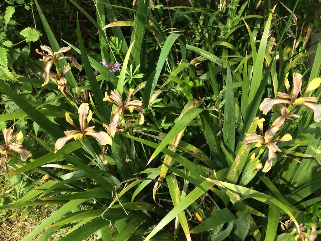 Iris Foetidissima In Flower Not The Most Spectacular Flo Flickr