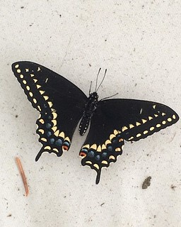 swallowtail | by Golly Bard
