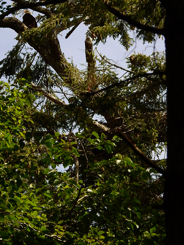 june 20 2016 10:27 - adult Eagle on old Helliwell Nest Tree | by boonibarb