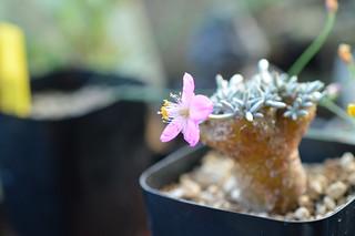 DSC_3621 Avonia quinaria アボニア・クイナリア Anacampseros quinaria 群蚕
