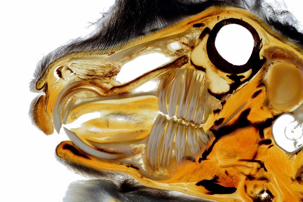 Rabbit teeth plastination specimen   Anatomical details of t…   Flickr