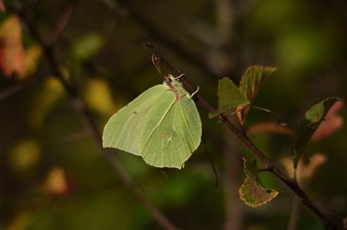 Brimstone | by markhows