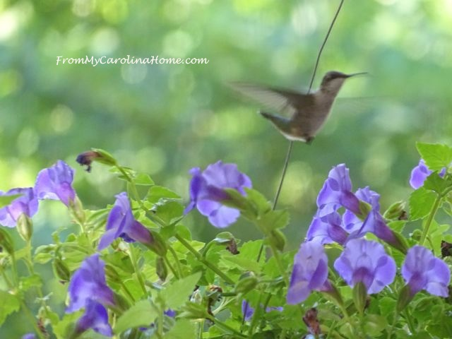 Hummingbird July 2016 4