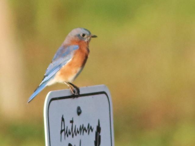 Eastern Bluebird 05-20161007
