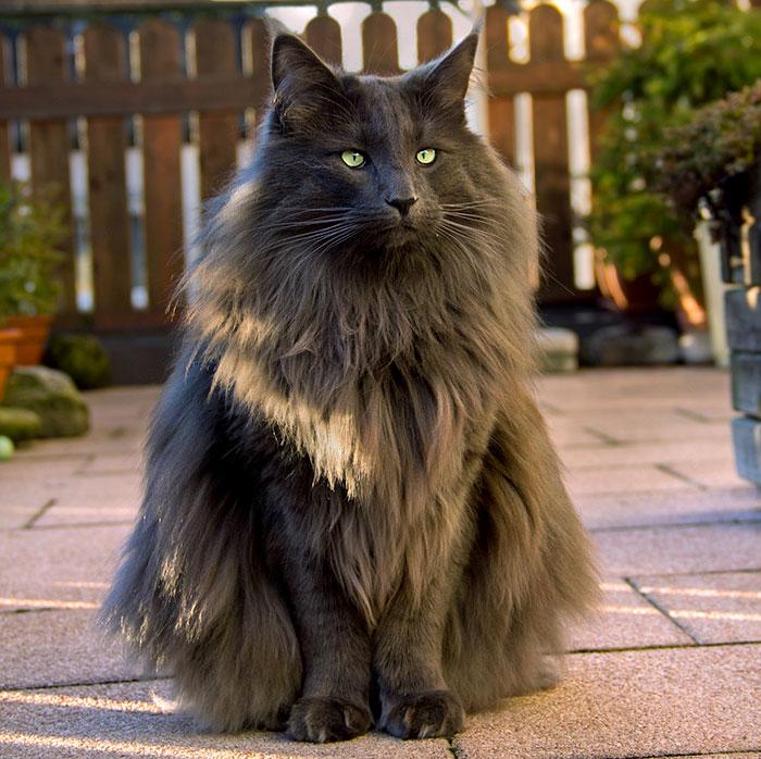 Великолепная норвежская лесная кошка - ПоЗиТиФфЧиК - сайт позитивного настроения!