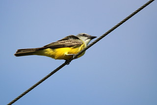 Couch's Kingbird | by mrecount