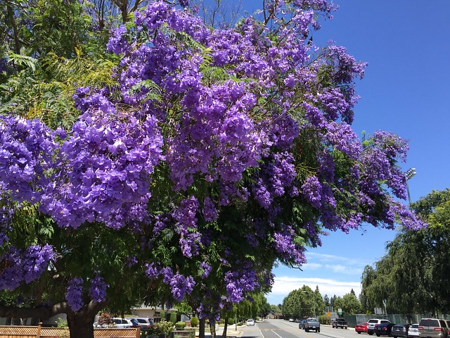 Jacaranda in full swing