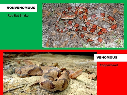 Red Rat Snake vs Copperhead Comparison | Mistaken Identity ...