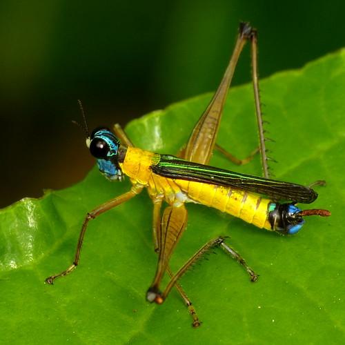 Monkey grasshopper, Eumastacidae | more photos from the ... | 500 x 500 jpeg 58kB