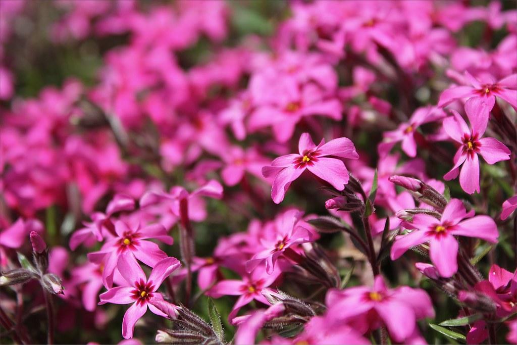 Small Purple Flowers David Flickr