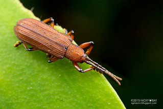 Leaf beetle (Gonophora sp.) - DSC_3753