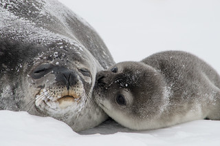 Seal Pup Kisses | by U.S. Geological Survey