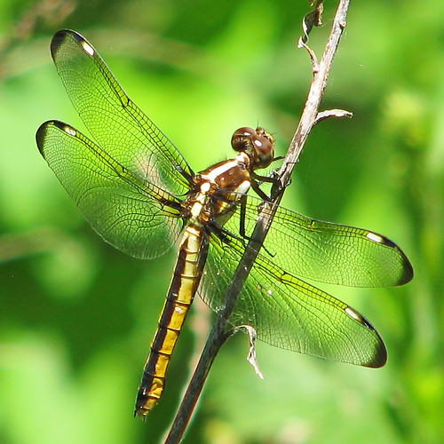 Spangled skimmer, female - at the wetlands | >> lady ... - photo#47