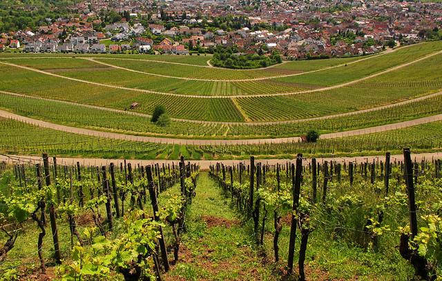 Vineyard in Spring - Korb, Baden-Württemberg, Germany