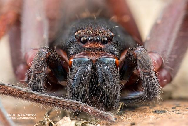 Huntsman spider (Heteropoda sp.) - DSC_2847