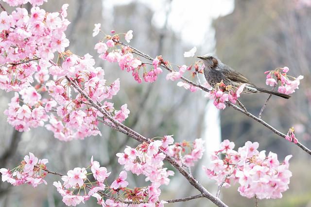 ヒヨドリと陽光桜