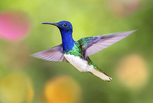 White-necked Jacobin Hummingbird, Yerette, Home of the Hum ...  Yerette