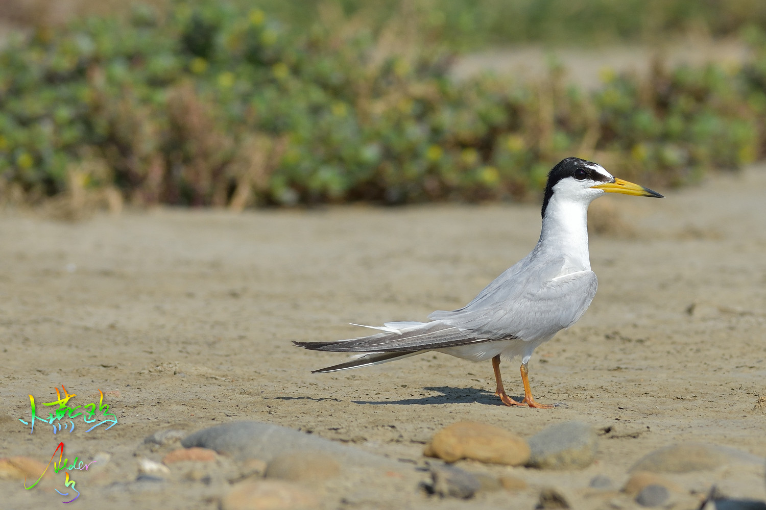 Little_Tern_2228