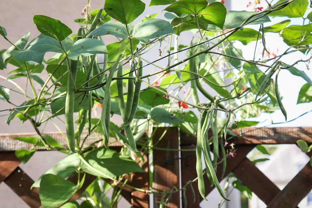Junge Feuerbohnen | Juli 2016 Canon EOS 60D EF 24-105mm f/4L… | Flickr