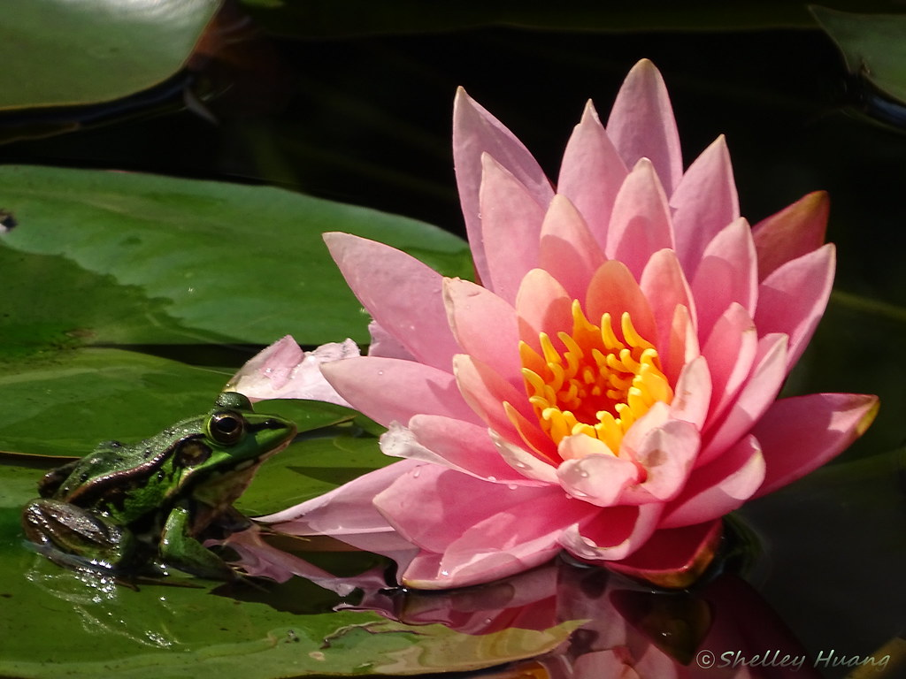 Water lily and frog prince dsc07596 shelley huang flickr water lily and frog prince by shelley huang izmirmasajfo