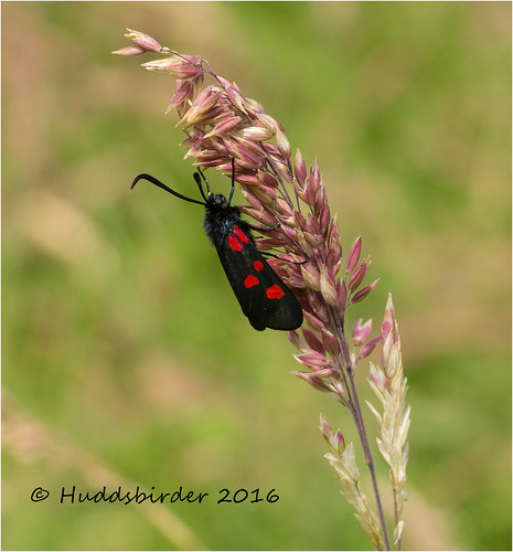 Narrow bordered 5 Spot Burnet Moth