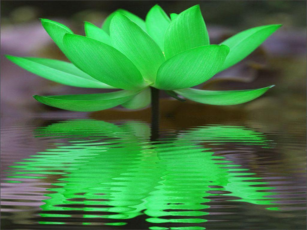 Green lotus reflection maf04 flickr green lotus reflection by maf04 green lotus reflection by maf04 izmirmasajfo