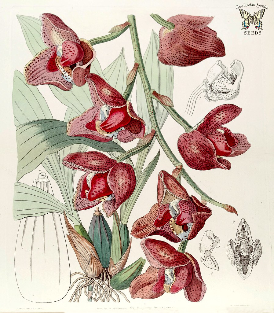 Acineta Superba Fragrant Long Lasting 3 Inch Flowers In Flickr