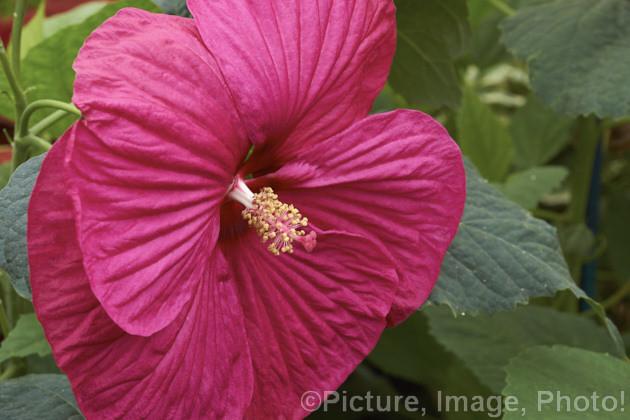 Hibiscus Moscheutos Luna Rose Luna Rose Hibiscus One Of T Flickr